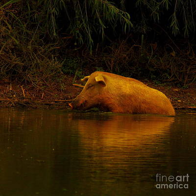 Ferrell Hog At Sunrise Art Print by Robert Frederick