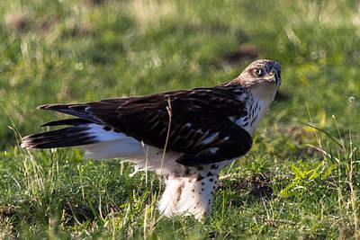 Ferruginous Hawk Photograph - Ferruginous Hawk 2 by John Daly