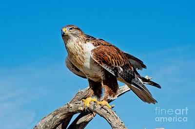 Us Wildllife Photograph - Ferruginous Hawk About To Take by Anthony Mercieca