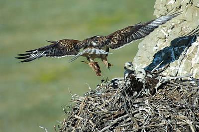 Ferruginous Hawk Photograph - Ferruginous Hawk Bringing Food To Young by Anthony Mercieca