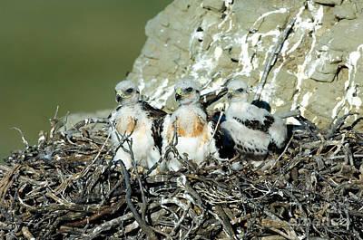 Ferruginous Hawk Photograph - Ferruginous Hawk Chicks In Nest by Anthony Mercieca