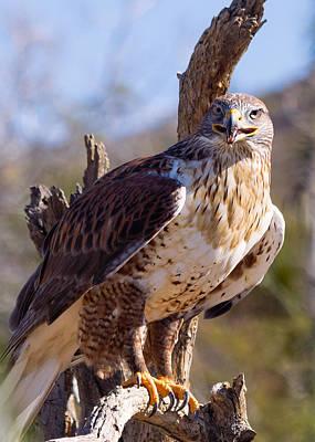 Ferruginous Hawk Photograph - Ferruginous Hawk by Kathleen Bishop