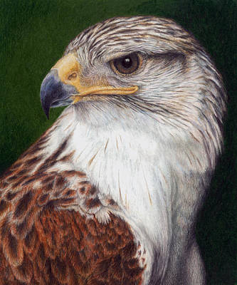 Colored Pencil Painting - Ferruginous Hawk by Pat Erickson