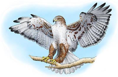 Ferruginous Hawk Photograph - Ferruginous Hawk by Roger Hall