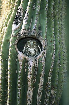 Pygmy Owl Wall Art - Photograph - Ferruginous Pygmy Owl In Saguaro Arizona by Tom Vezo