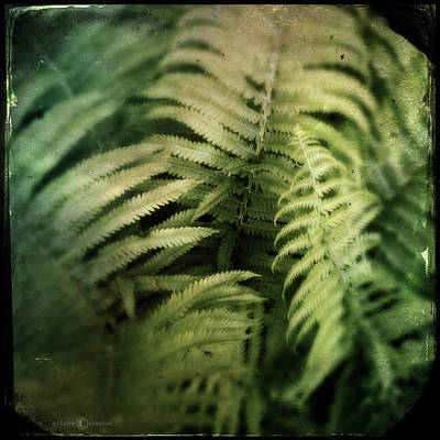 Photograph - Festooned With Ferns by Tim Nyberg