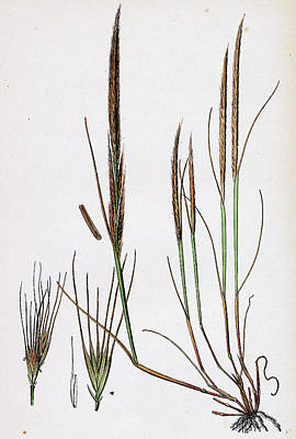 Ambiguous Drawing - Festuca Ambigua Ambiguous Fescue-grass by English School