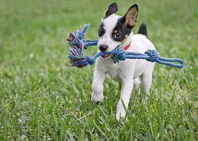 Rat Terrier Photograph - Fetching  by Patrick M Lynch