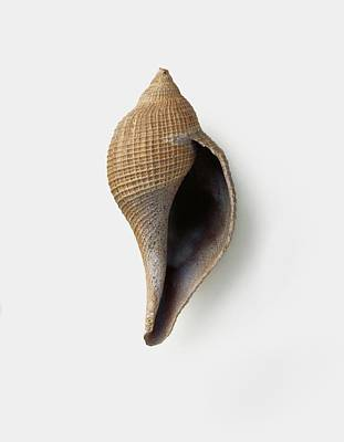 Ficopsis Penita (fig Shell) Art Print