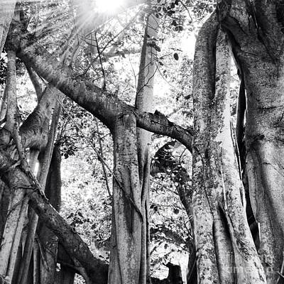 Photograph - Ficus Altissima In Black And White by K Simmons Luna