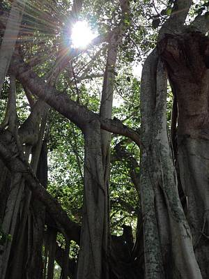 Photograph - Ficus Altissima by K Simmons Luna