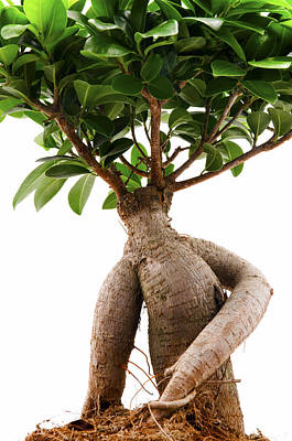 Ficus Photograph - Ficus Ginseng by Fabrizio Troiani