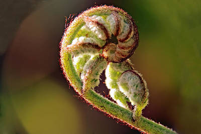 Photograph - Fiddlehead Fern by Peggy Collins