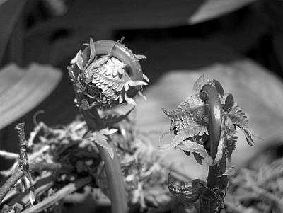 Photograph - Fiddlehead by Gene Cyr