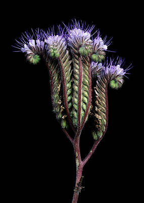 Fiddleneck Photograph - Fiddleneck (phacelia Tanacetifolia) by Gilles Mermet