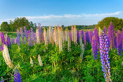 Field Filled With Lupins Art Print by Matt Dobson