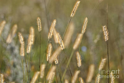 Photograph - Field Grass by Cheryl Baxter