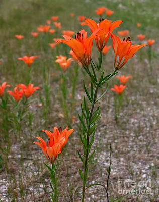 Photograph - Field Lillies by Charles Kozierok