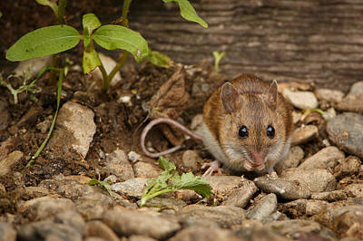 Field Mouse Art Print by Izzy Standbridge