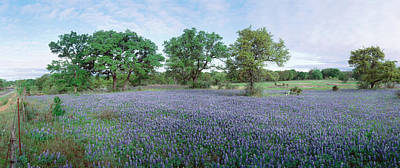 Field Of Bluebonnet Flowers, Texas, Usa Art Print by Panoramic Images