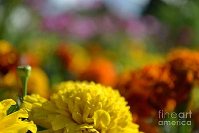 Art Print featuring the photograph Field Of Carnations by Scott Lyons