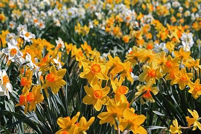 Photograph - Field Of Daffodils 1 by Michael Saunders