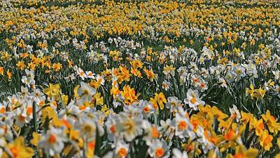 Photograph - Field Of Daffodils 2 by Michael Saunders