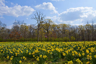Field Of Daffodils At The Morton Arboretum Art Print