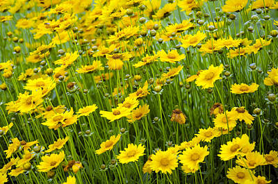 Photograph - Field Of Daisies by Ricky Barnard