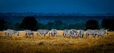 Photograph - Field Of Feeding Zebra by Jim DeLillo