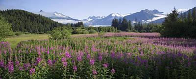 Field Of Fireweed With Coast Mountains Art Print by John Hyde