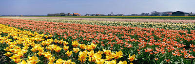 Flower Blooms Photograph - Field Of Flowers, Egmond, Netherlands by Panoramic Images