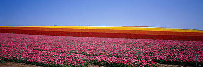 Numerous Photograph - Field Of Flowers, Near Encinitas by Panoramic Images