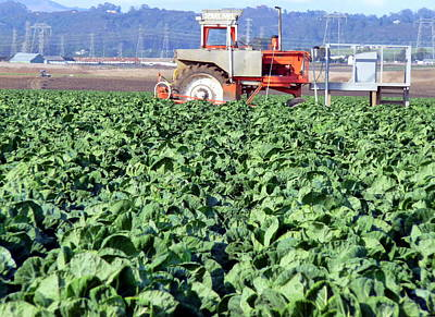 Photograph - Field Of Fresh Cabbage  by Jeff Lowe