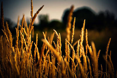 Photograph - Field Of Gold by Greg Collins