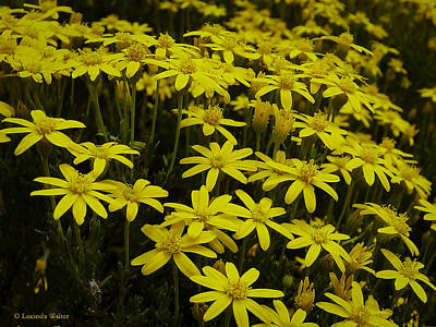 Photograph - Field Of Gold by Lucinda Walter