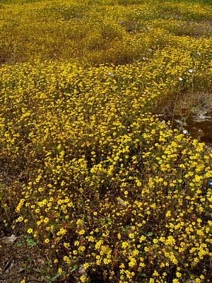 Field Of Goldfields In Park Sierra-ca Print by Ruth Hager