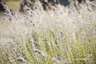 Photograph - Field Of Lavender At Clos Lachance Vineyard In Morgan Hill Ca by Artist and Photographer Laura Wrede