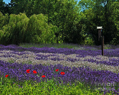 Photograph - Field Of Lavender by Chuck Flewelling