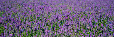 Flower Blooms Photograph - Field Of Lavender, Hokkaido, Japan by Panoramic Images