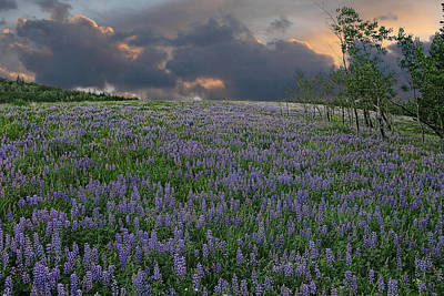 Field Of Lupine Art Print by Ed Hall