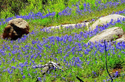 Photograph - Field Of Lupine by Jeff Lowe
