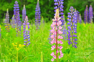 Field Of Lupine's II Art Print by Catherine Reusch Daley
