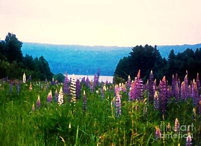 Photograph - Field Of Lupines by Desiree Paquette