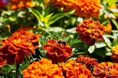Photograph - Field Of Marigolds by Ms Judi
