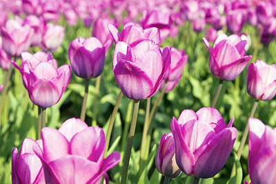 Pop Art Rights Managed Images - Field of Pink Tulip Flowers Royalty-Free Image by Jit Lim