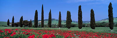 Field Of Poppies And Cypresses In A Art Print