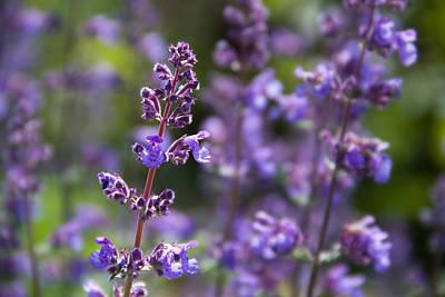 Photograph - Field Of Purple by Teresa Hunt