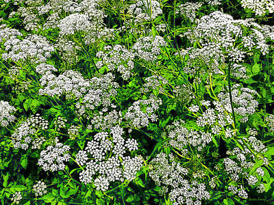 Photograph - Field Of Queen Anne's Lace by Susan Savad