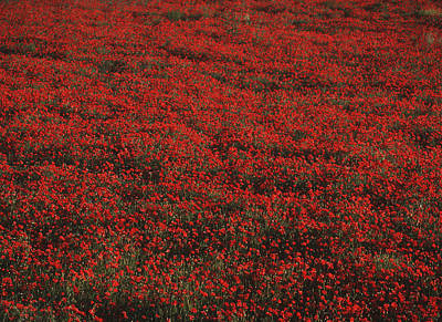 Field Of Red Poppies Art Print by Ian Cumming